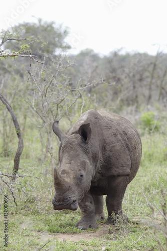 Poster Rhino Rhinoceros walks in African plains