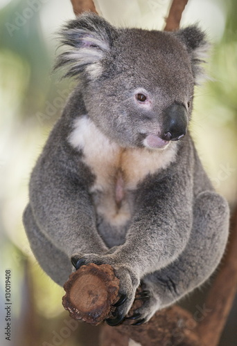 Koala (Phascolarctos Cinereous) sitting on eucalyptus tree branch, Brisbane, Queensland, Australia, Pacific