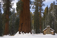 A Stone Brick Museum Is Dwarfed By Giant Sequoia Trees At Mariposa Grove After Fresh Snowfall, Yosemite National Park, California