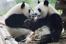 Giant Panda Eating Bamboo At Chengdu Panda Reserve, Sichuan Province, China