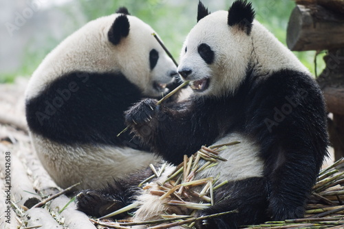Photo Giant panda eating bamboo at Chengdu Panda Reserve, Sichuan Province, China, Asi