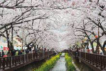 Spring Cherry Blossom Festival, Jinhei, South Korea