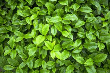 Fototapeta Do herbaciarni tea leaves as background