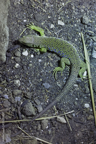 Ocellated lizard (Timon lepidus).