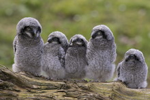 Chicks Of Northern Hawk Owl (Surnia Ulula Ulula), Native To Scandinavia And Eurasia, Captive, World Owl Trust, Cumbria