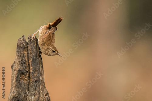 Zaunkönig (Troglodytes troglodytes) Fototapete