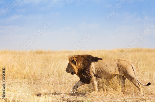 Portrait of lion walking and hunting in grass