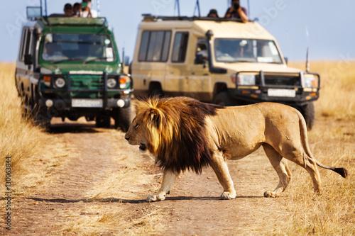 Big lion crossing the road at African savannah