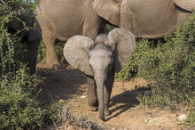 Baby Elephant, Loxodonta Africana, In Addo Elephant National Park, Eastern Cape