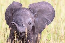 Portrait Of An Elephant Calf I...