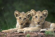 Lion Cubs, Panthera Leo, In Kruger National Park Mpumalanga