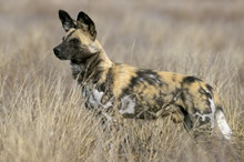 Wild Dog (painted Hunting Dog) (Lycaon Pictus)