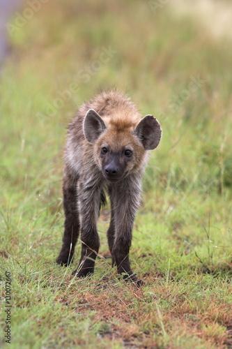 Fotobehang Hyena Young spotted hyena (Crocuta crocuta), Kruger National Park, Mpumalanga, South Africa, Africa