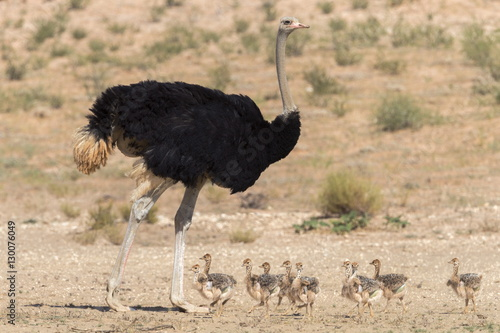 Ostrich (Struthio camelus) male with chicks, Kgalagadi Transfrontier Park, Northern Cape, South Africa, Africa