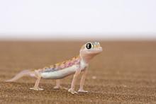 Webfooted Gecko (Palmatogecko Rangei), Namib Desert, Namibia