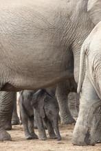African Elephant (Loxodonta Africana) New-born Calf, Addo Elephant National Park