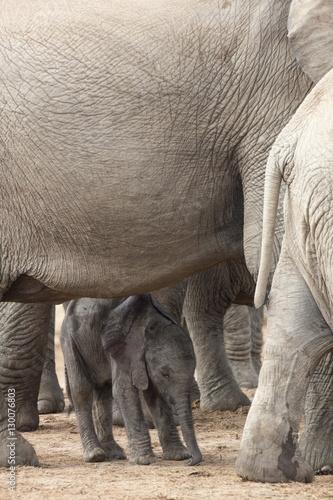 African elephant (Loxodonta africana) new-born calf, Addo Elephant National Park, South Africa, Africa