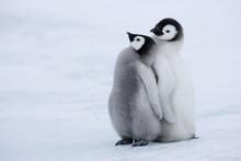 Emperor Penguin Chicks (Aptenodytes Forsteri), Snow Hill Island, Weddell Sea, Antarctica