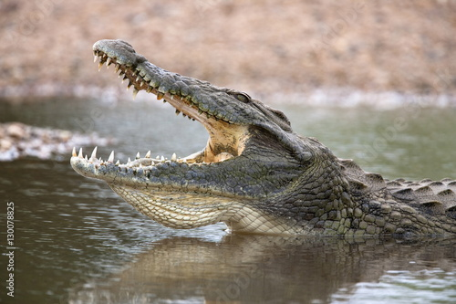 Nile crocodile (Crocodylus niloticus), jaws agape, Kruger National Park, South Africa, Africa