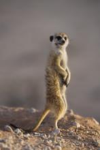 Meerkat Sentinel (Suricatta Suricata), Kgalagadi Transfrontier Park, Northern Cape