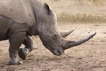 White Rhino (Ceratotherium Simum), Imfolozi Game Reserve, KwaZulu-Natal