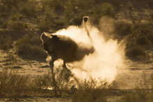 Ostrich (Struthio Camelus) Dustbathing, Kgalagadi Transfrontier Park