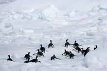 Emperor Penguins (Aptenodytes Forsteri), Snow Hill Island, Weddell Sea, Antarctica