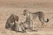 Cheetah (Acinonyx Jubatus) Killing Baby Common Wildebeest (Connochaetes Taurinus), Kgalagadi Transfrontier Park