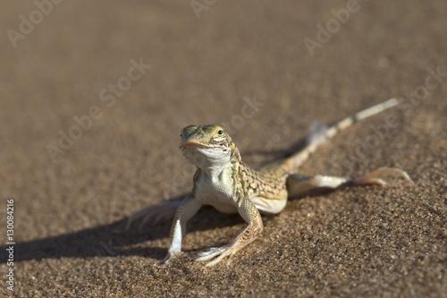 Shovel-snouted lizard (Meroles anchietae), Namib Desert, Namibia, Africa Poster