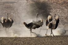 Ostrich (Struthio Camelus), Males, Kgalagadi Transfrontier Park