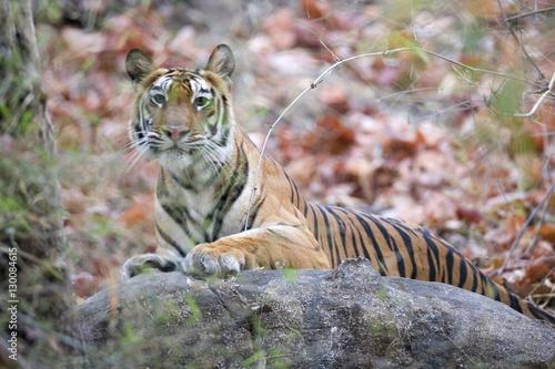 Poster Tijger Bengal tiger, Panthera tigris tigris, Bandhavgarh National Park, Madhya Pradesh, India, Asia