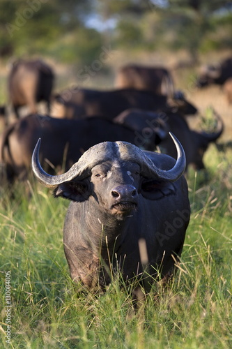 Poster Buffel Cape buffalo (Syncerus caffer), Kruger National Park, South Africa, Africa