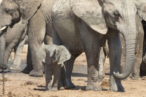 Elephant (Loxodonta africana) calf, Addo Elephant National Park, South Africa, Africa