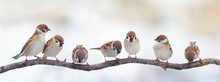 Small Funny Birds Sparrows Si...