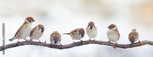 Poster Bird small funny birds sparrows sitting on a branch on the panoramic picture