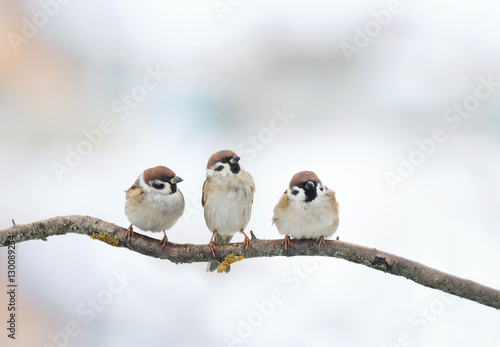 Ingelijste posters Vogel three funny birds Sparrow sitting on a branch in winter