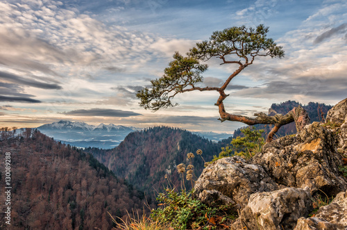 Obraz Dwarf pine tree on Sokolica peak, Pieniny, Poland - fototapety do salonu