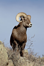 Bighorn Sheep (Ovis Canadensis) Ram During The Rut, Arapaho National Forest, Colorado