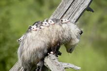 Opossum (Didelphis Virginiana) Mother And Babies, In Captivity, Sandstone, Minnesota