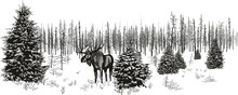 Siberian Moose In Winter Fore...