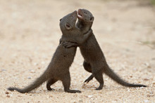 Two Dwarf Mongoose (Helogale P...