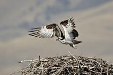 Osprey (Pandion Haliaetus) Taking Off From Its Nest, Lemhi County, Idaho