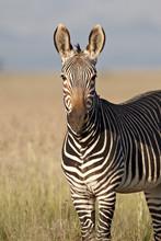 Cape Mountain Zebra (Equus Zeb...