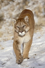 Mountain Lion (Cougar) (Felis ...
