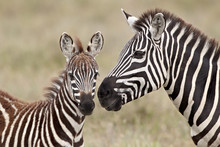 Common Zebra Or Burchell's Zebra (Equus Burchelli) Foal And Mare, Serengeti National Park, Tanzania