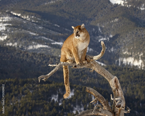Mountain Lion or Cougar (Felis concolor) on tree