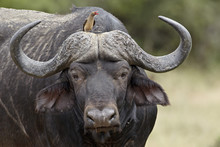 Red-billed Oxpecker (Buphagus Erythrorhynchus) On A Cape Buffalo (African Buffalo) (Syncerus Caffer), Kruger National Park