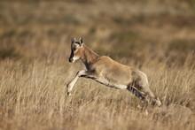Blesbok (Damaliscus Pygargus Phillipsi) Lamb Leaping, Mountain Zebra National Park