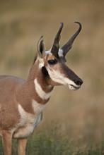 Pronghorn (Antilocapra Americana) Buck, Custer State Park, South Dakota