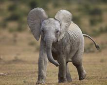 Young African Elephant (Loxodonta Africana), Addo Elephant National Park